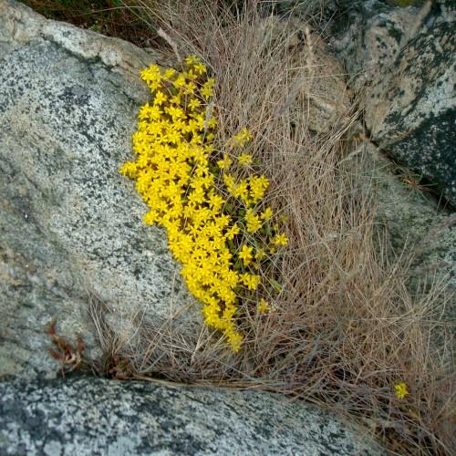 Paturpinot faktūru/tekstūru tēmu, mani vienmēr izbrīnījuši tik koši augi, kas spēj augt tik akmeņainā vidē.